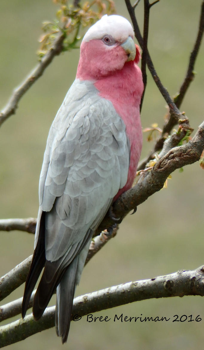 Pink And Grey Galah III by BreeSpawn
