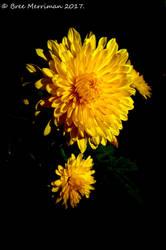 Yellow Daisy Flower III