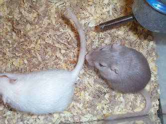 Gerbil Babies - Mom and Dad by shock