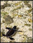 Baby green turtle II
