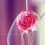 Smokey rose.. .
