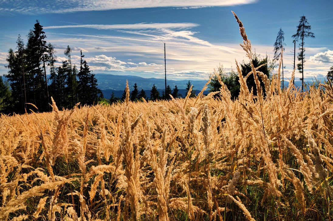 Golden Field by Burtn