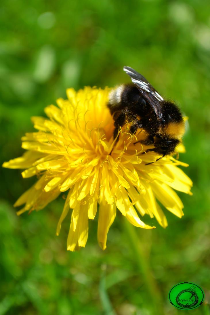 Bee by Idraemir