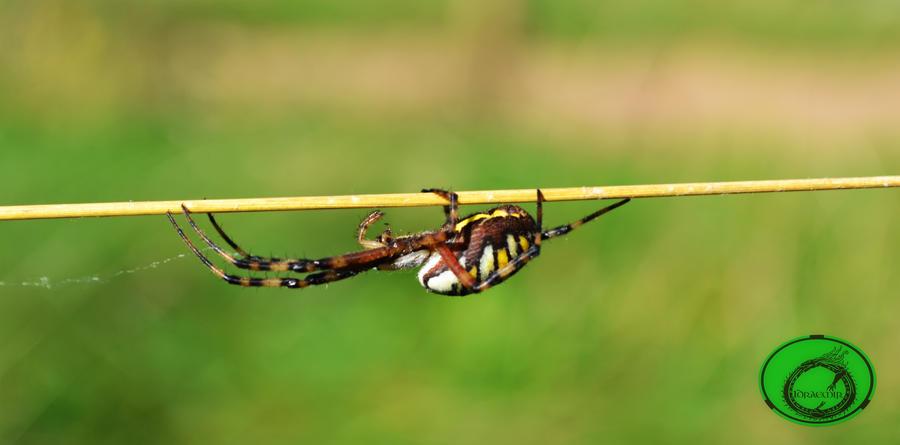 Wasp spider 02 by Idraemir