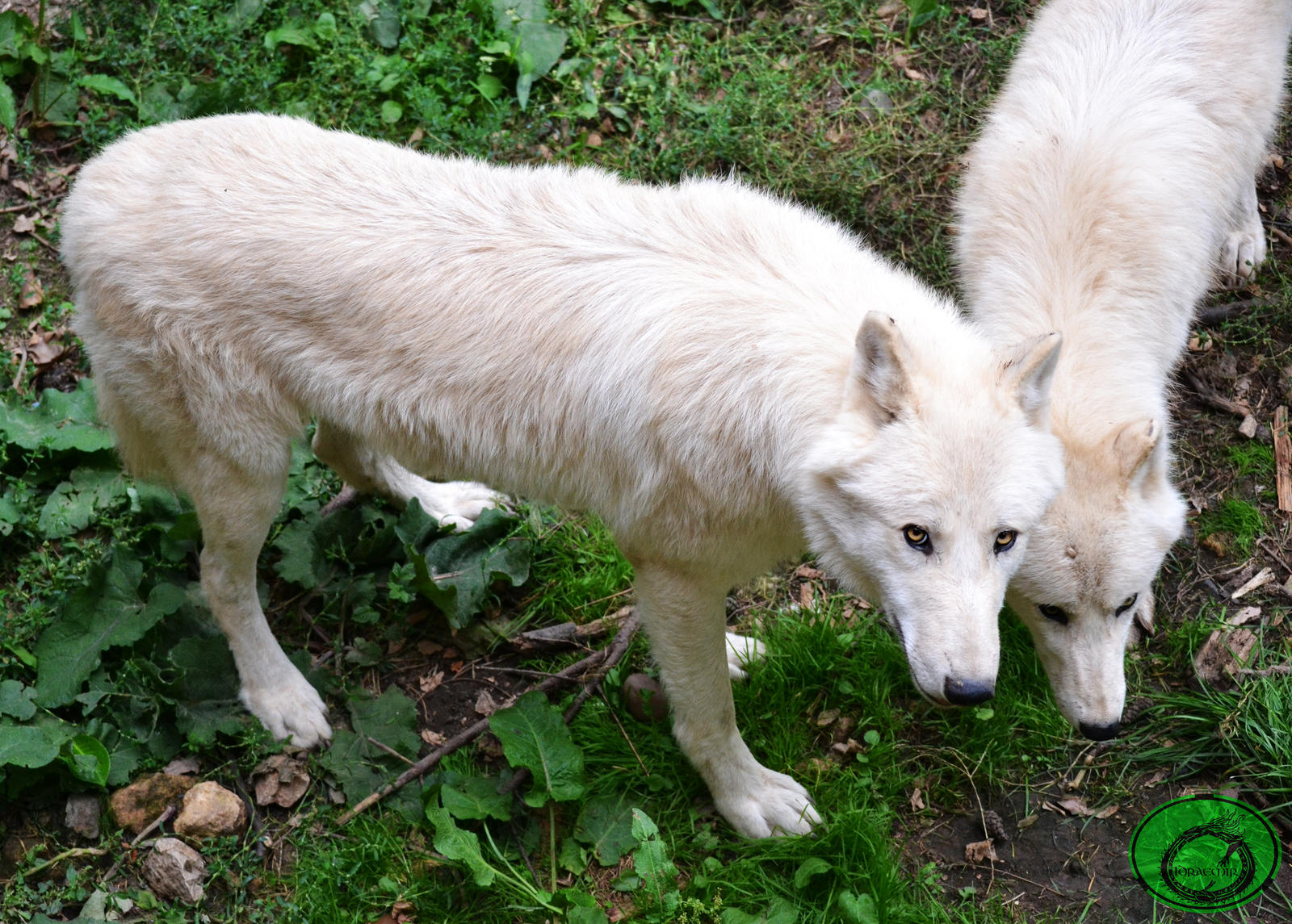 Arctic Wolves by Idraemir