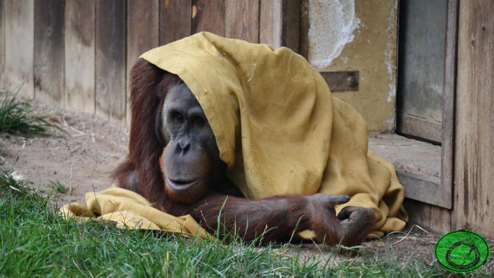 The Orangutan and the Blanket 01 by Idraemir