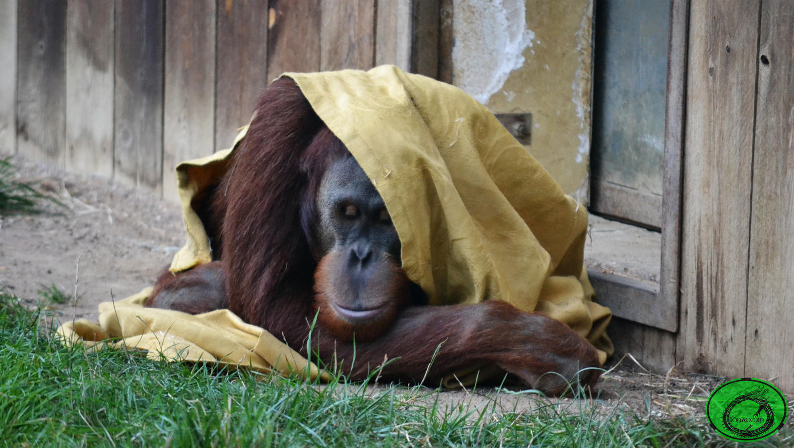 The Orangutan and the Blanket 03 by Idraemir