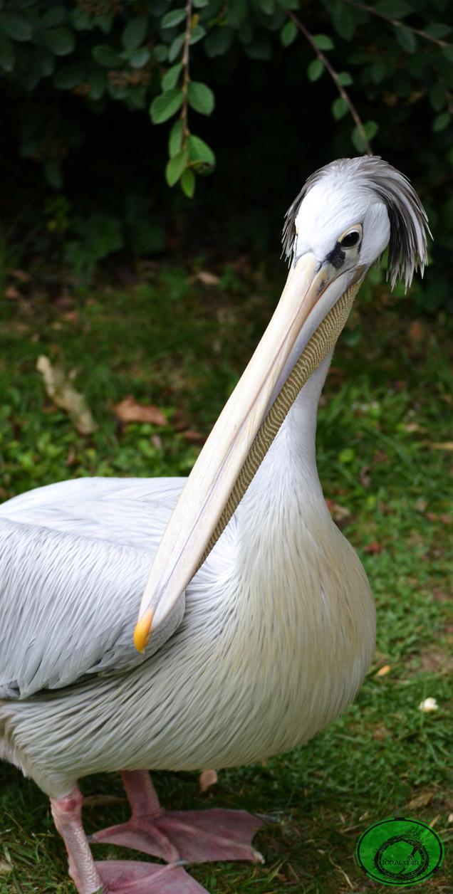 Grey Pelican 02 by Idraemir