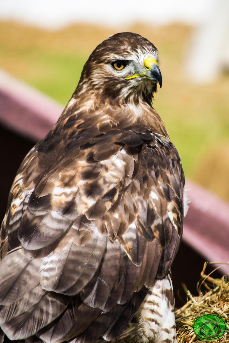 Golden Eagle 02 by Idraemir