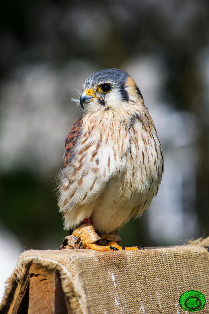 Lanner Falcon by Idraemir