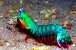 mantis shrimp 2