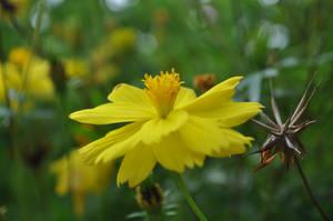 Yellow Flower by tinelijah
