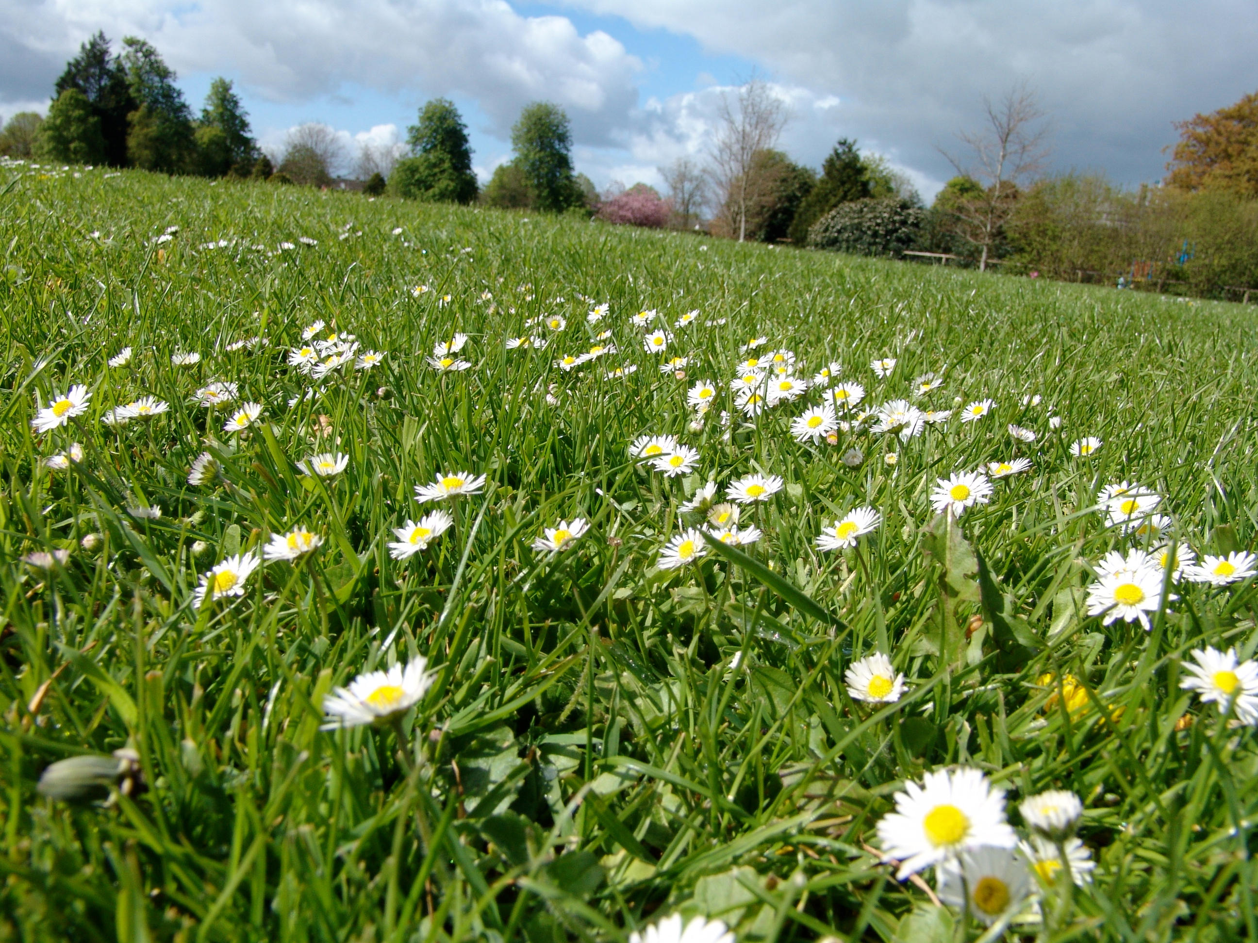 field of daisies by edanastas on deviantart