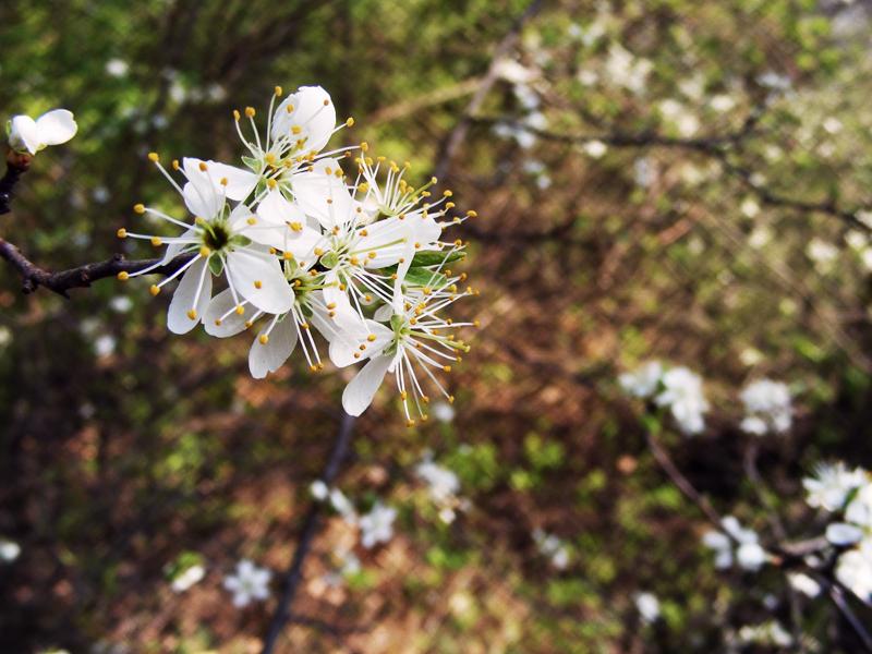 Prunus cerasus by Vividiaaa