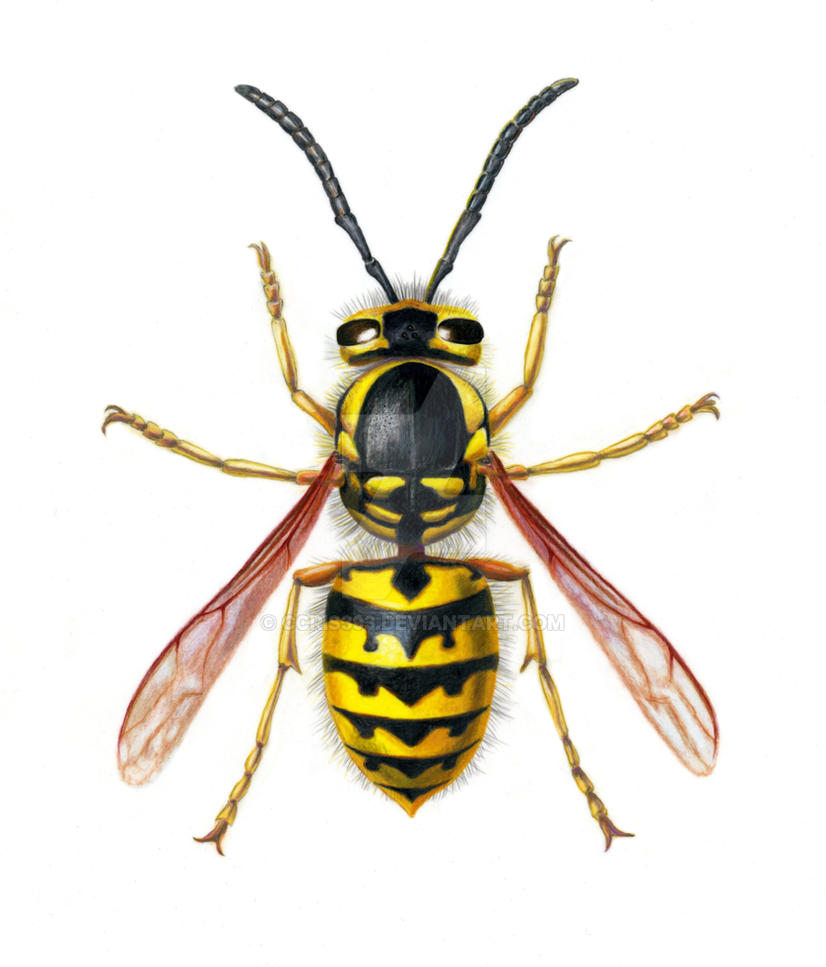 Western Yellow Jacket By Ccris393 On Deviantart