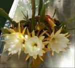 Cactus flowers 3