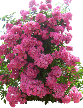 Flowered garden png 04