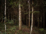 Summer Spruces Wood 01