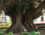 Big Ficus 01