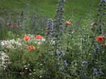 Wild flowers of summer 10