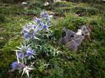 Mountain Blue Thistle