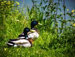 May 02 - Ducks by HermitCrabStock