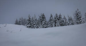 Avoriaz 022 - Firs in the snow by HermitCrabStock