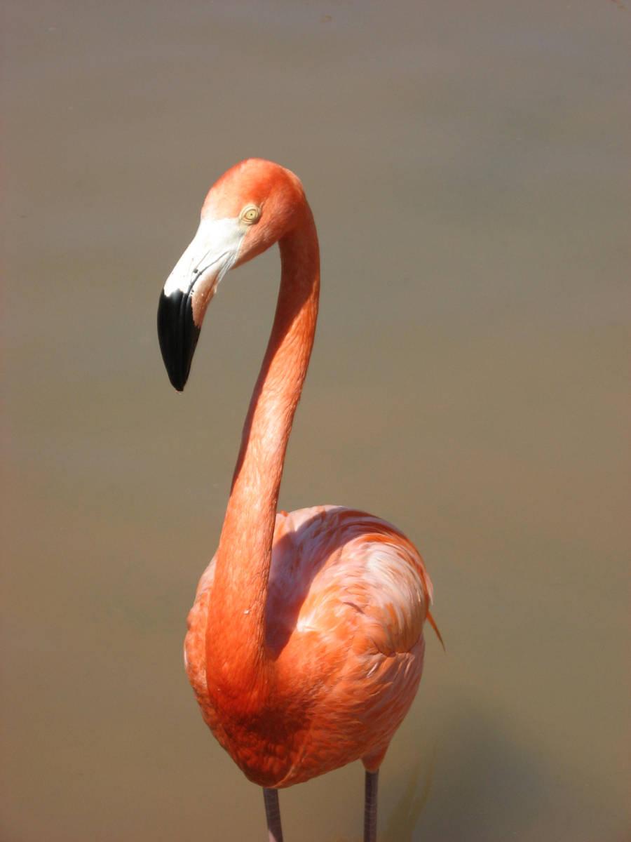 Flamingo by medli20