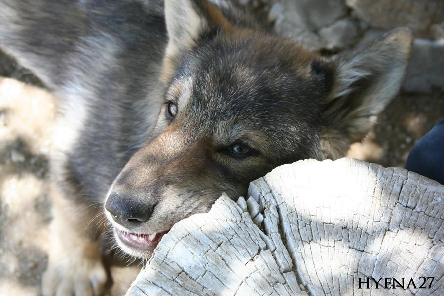 Nom Nom Wolf Pup by Hyena27