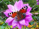 Pink Flower Butterfly by Pandoras-Encore