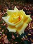 Yellow Rose by Pandoras-Encore