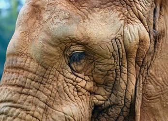 eye of elephant