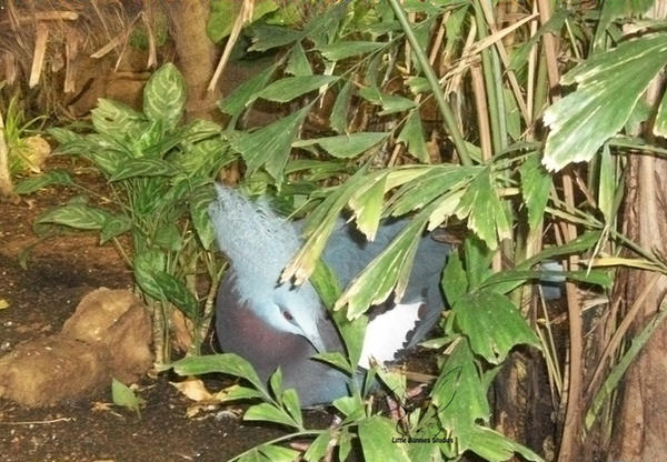 Southern Crowned Pigeon 2 by RavensReflection