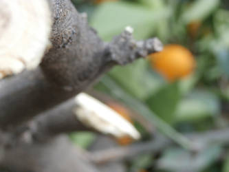 Orange Tree 04