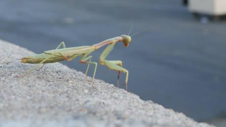Mantis Praying 01