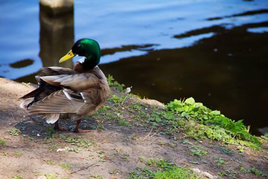 Natural Duck at Spring season in Haarlem