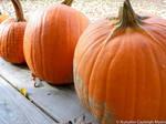 Pumpkins by AutumnCayleigh