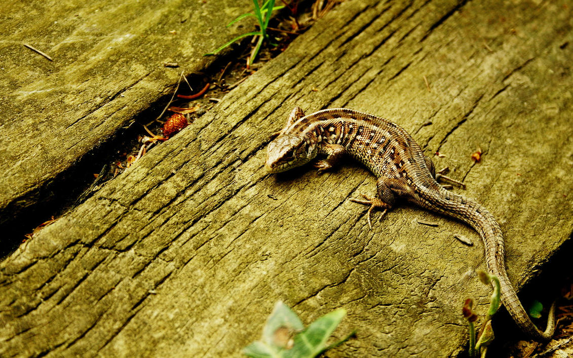 lizzard widescreen wp by blackasmodeus