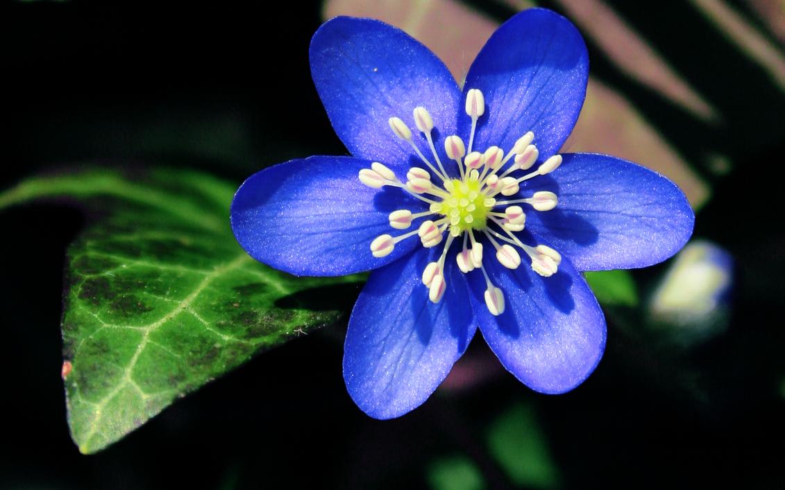 First Flower Of Spring By Blackasmodeus On Deviantart