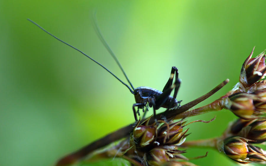 grasshopper juvenile by blackasmodeus