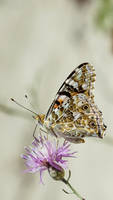 butterfly by blackasmodeus