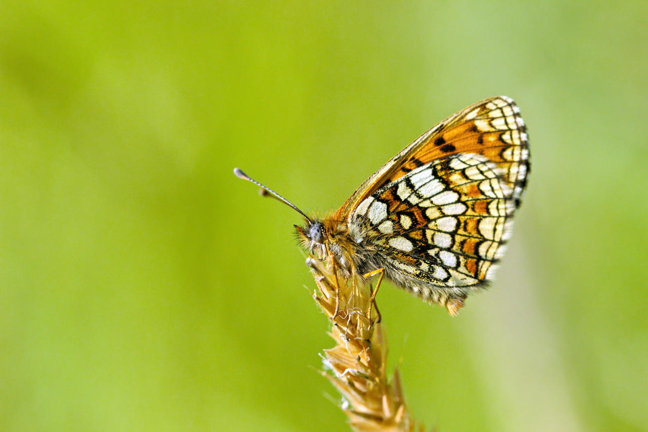 Heath fritillary by blackasmodeus