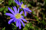 blue anemone by duckstance