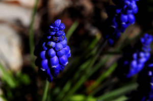 grape hyacinth by duckstance