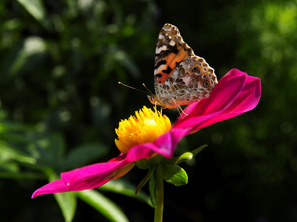 butterfly by duckstance