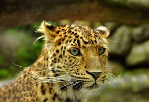 leopard by duckstance