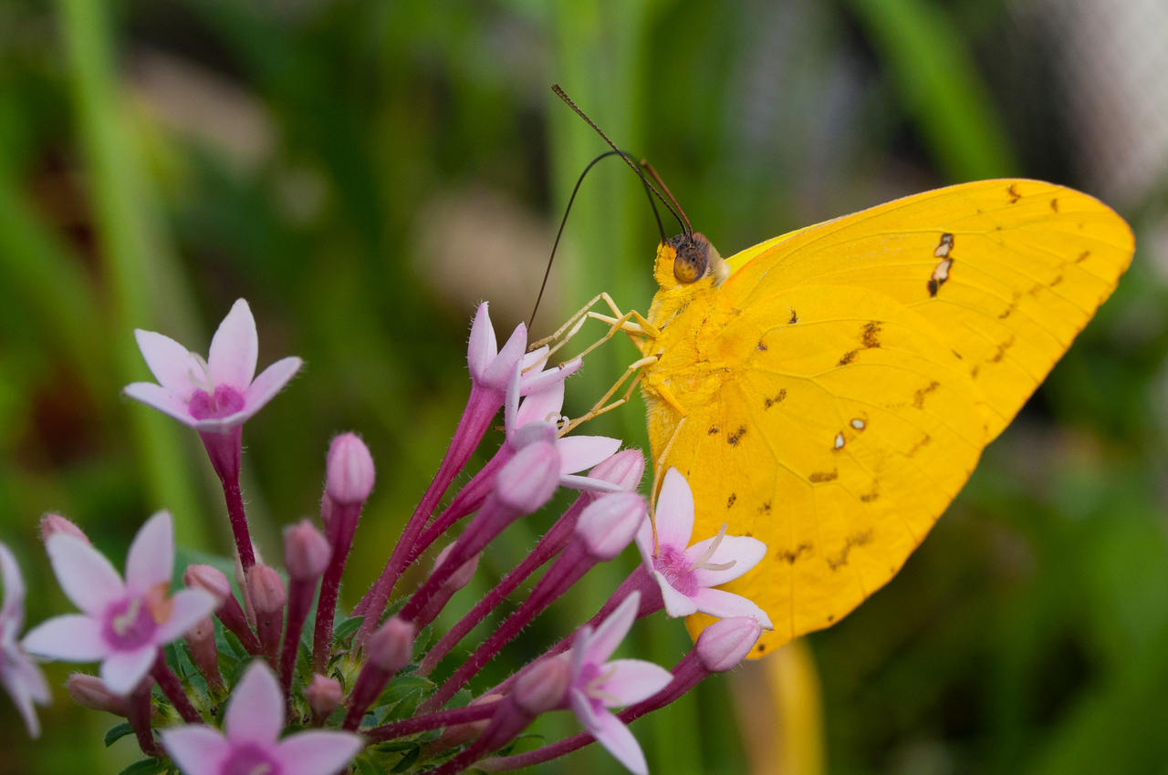 Yellow Butterfly by duckstance