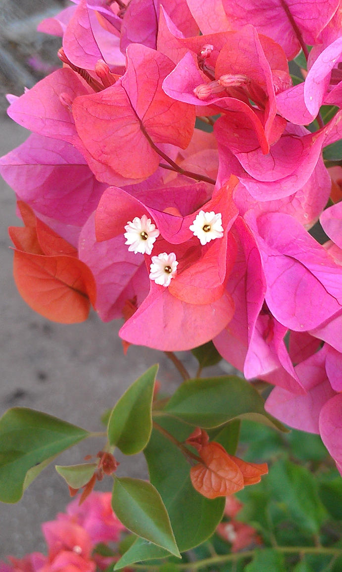 Bougainvillea Hybrid by MaineWicked