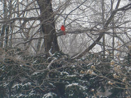 Red Bird, cold day