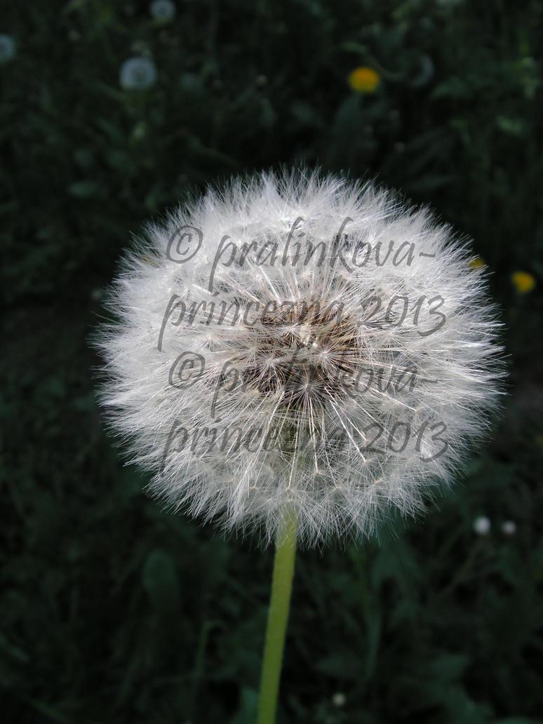 Stock: Dandelion, silver fluffy by pralinkova-princezna